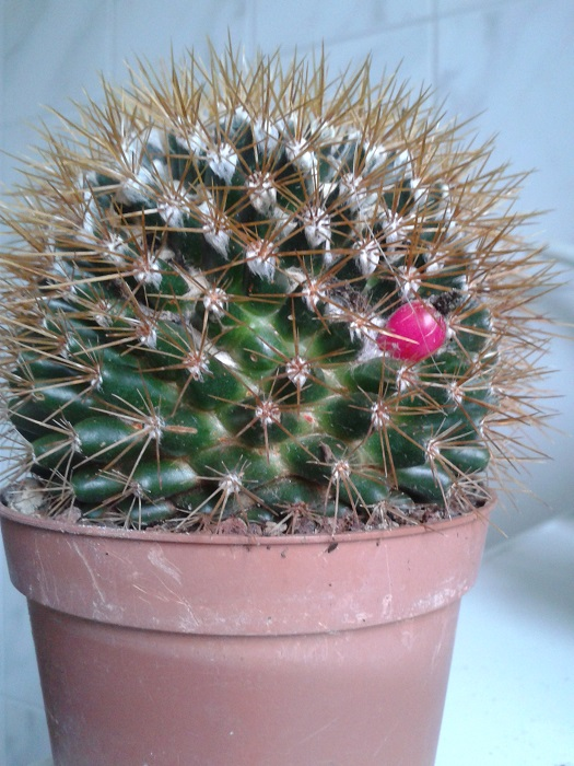 Need help, is this an Mammillaria spinosissima vs Rubrispina ??? 20131154