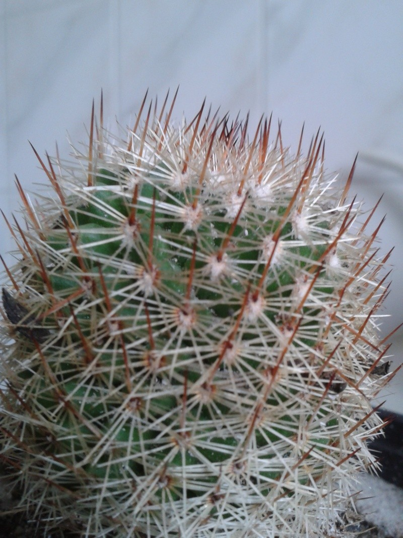 another unknow cactea..mammillaria? 20131163