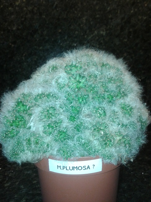 Is this an Mammillaria Plumosa ??? 20131211