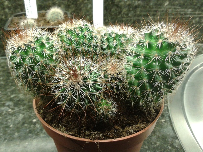 Mammillaria spinosissima  or Mammillaria meyrani  ? Onbeke10