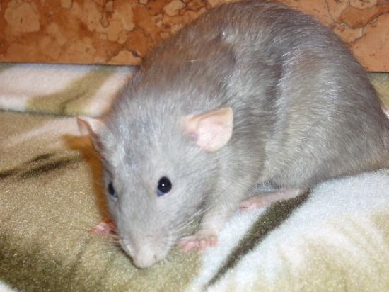 Un rat + une rate SEUL dans une animalerie  52237910