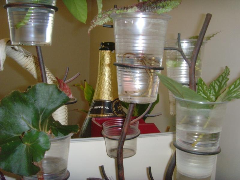 mes petites boutures de bégonia Snv32419