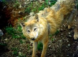 Clasificación de los lobos El_lob10