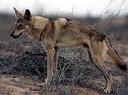 Clasificación de los lobos Lobo_a10