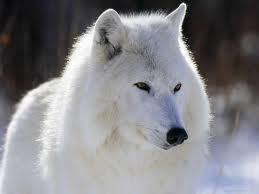 Clasificación de los lobos Lobo_d10