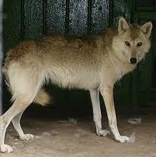 Clasificación de los lobos Lobo_d11