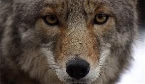 Clasificación de los lobos Lobo_d14