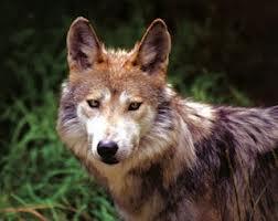Clasificación de los lobos Lobo_d15