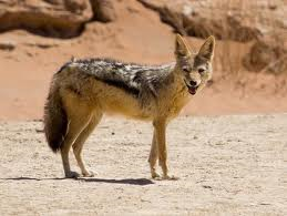 Clasificación de los lobos Lobo_e10