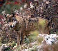 Clasificación de los lobos Lobo_i10