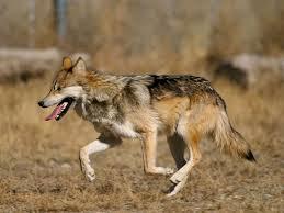 Clasificación de los lobos Lobo_m12