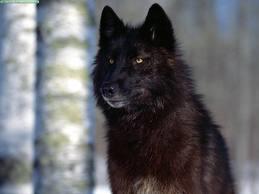 Clasificación de los lobos Lobo_r10