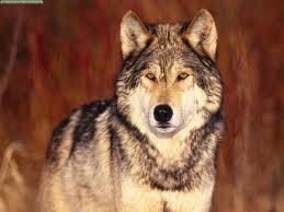 Clasificación de los lobos Lobos_10