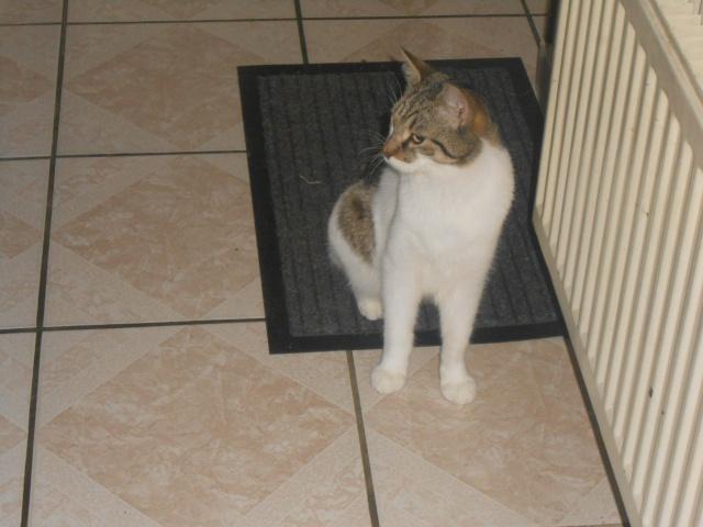 Perdu Chat tigré et blanc à Rousies 59131 (appartient à un membre de l'Arche) Dscn3562