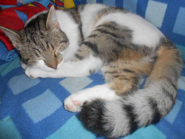 Perdu Chat tigré et blanc à Rousies 59131 (appartient à un membre de l'Arche) Dscn3563