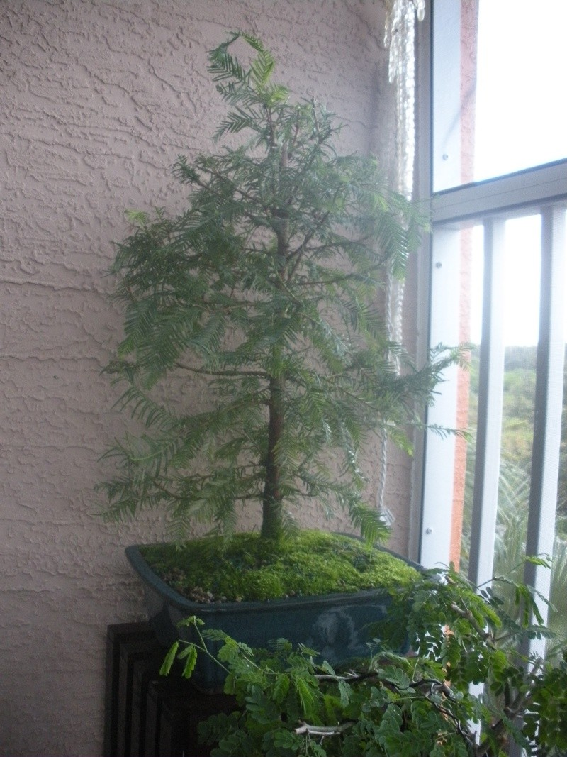 New to the forum!  My trees/progression Growing in SW Florida Dscn2411