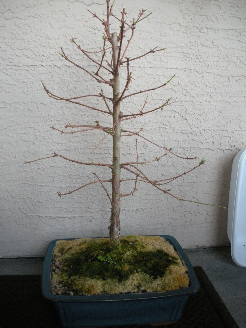 New to the forum!  My trees/progression Growing in SW Florida Dscn2412