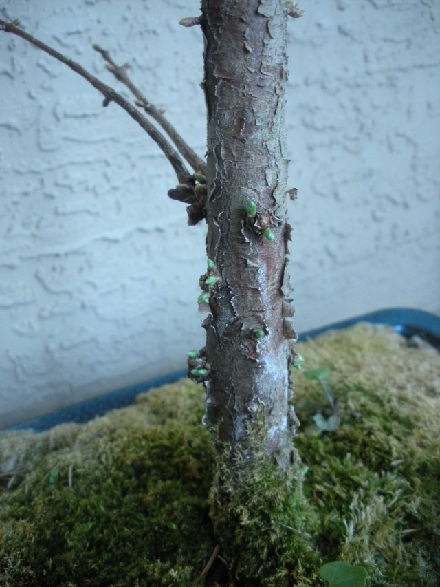 New to the forum!  My trees/progression Growing in SW Florida Dscn2414