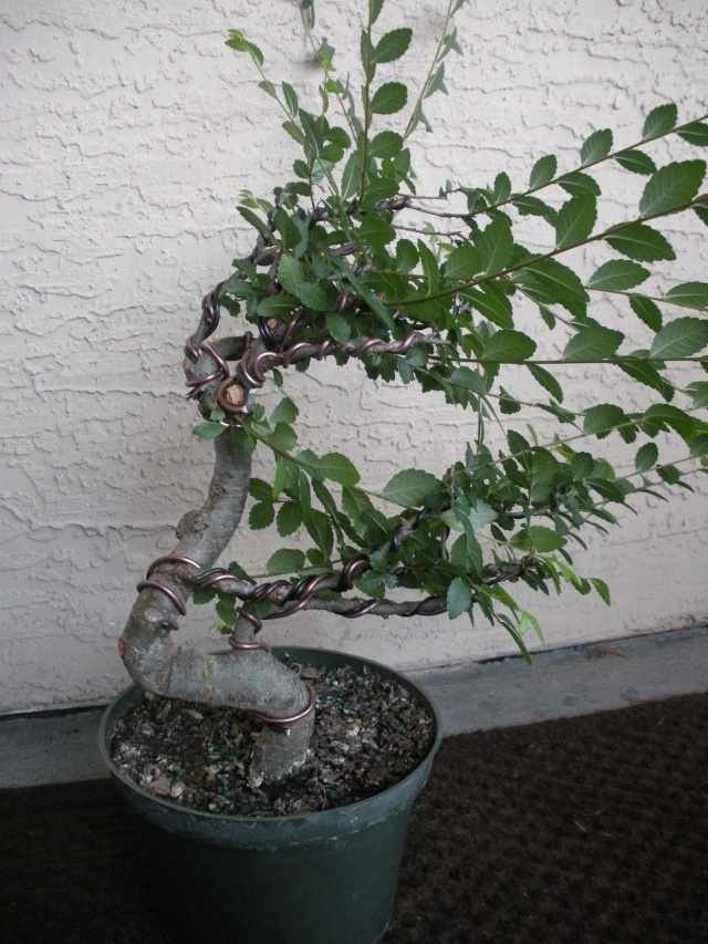 New to the forum!  My trees/progression Growing in SW Florida Dscn2418