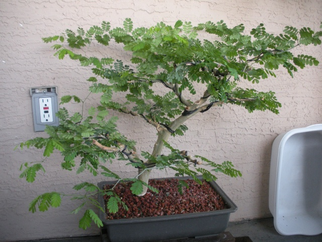 New to the forum!  My trees/progression Growing in SW Florida Dscn2420