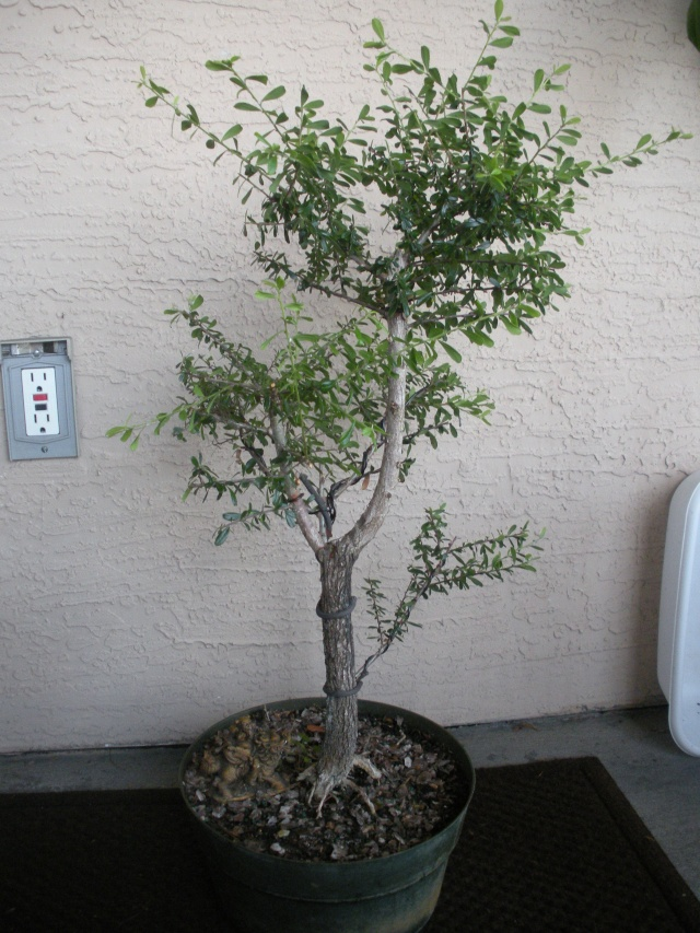 New to the forum!  My trees/progression Growing in SW Florida Dscn2422