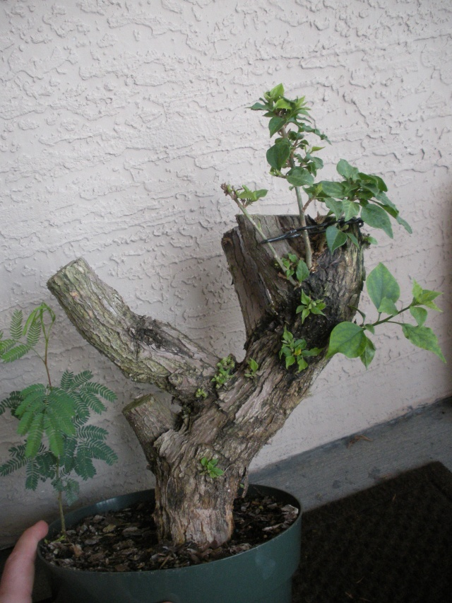 New to the forum!  My trees/progression Growing in SW Florida Dscn2424