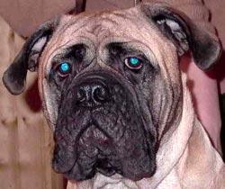 Проблемы постава ушей у щенков и молодых собак  130910