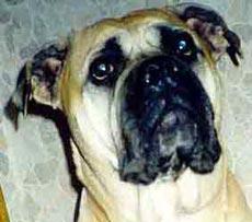 Проблемы постава ушей у щенков и молодых собак  131010