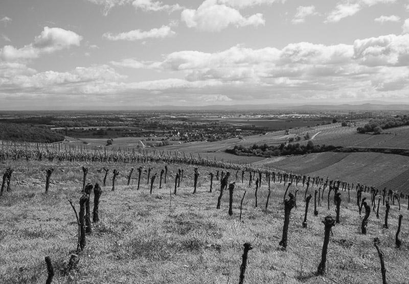 Le vignoble d'Ingersheim 11-05-10
