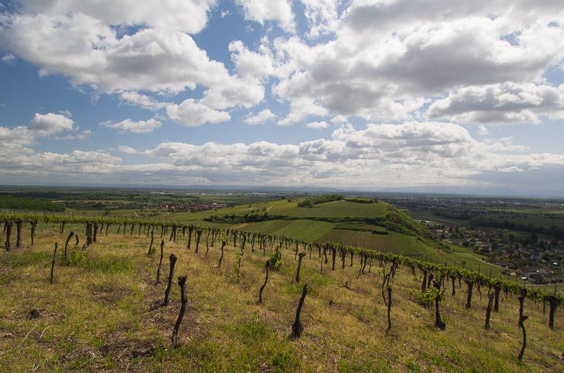 Le vignoble d'Ingersheim 11-05-12