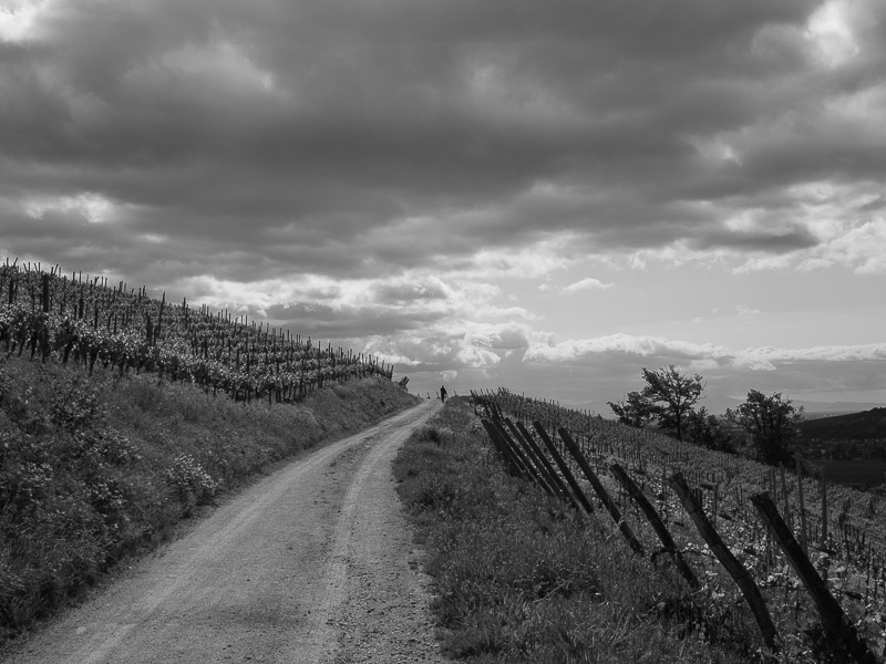 Le vignoble d'Ingersheim 11-05-13