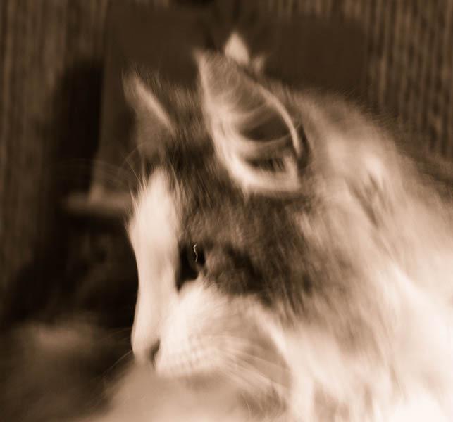 un petit chat norvégien  18-03-10