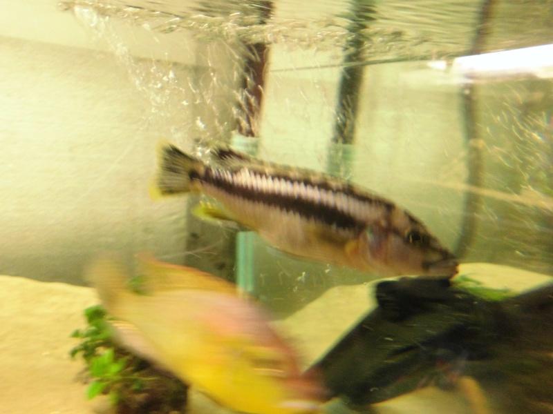 2/3 photos de mes poissons Cimg0628