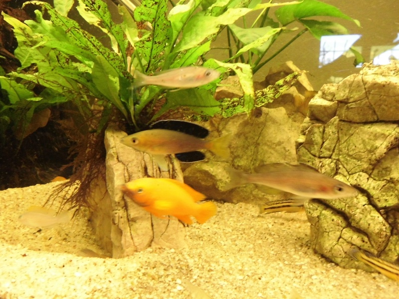 cyprichromis leptosoma jumbo yellow head Cimg0812