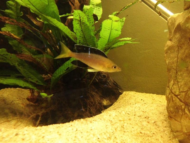 cyprichromis leptosoma jumbo yellow head Cimg0813