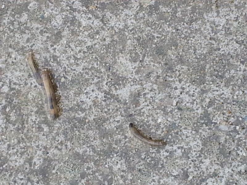 recherche désespérément nom et traitement contre insecte sur terrasse... 20140112