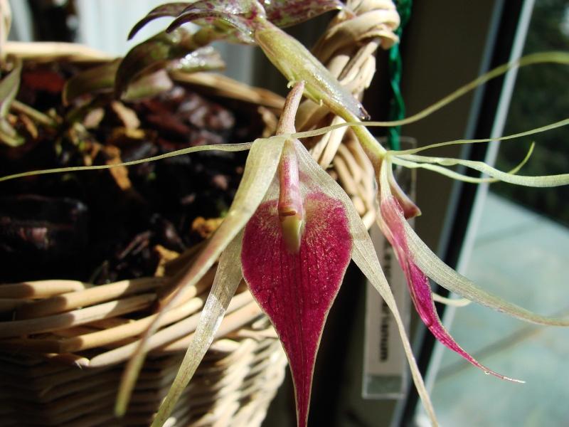 Epidendrum escobarianum Dsc05511