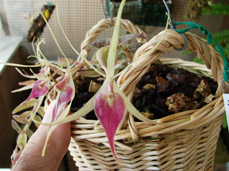 Epidendrum escobarianum Dsc05512