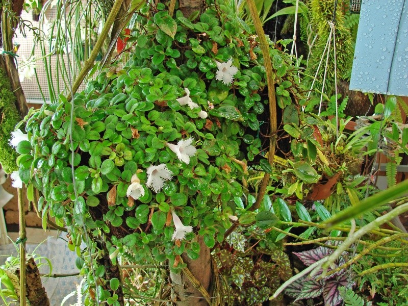 Weitere Begleitpflanzen Episci13
