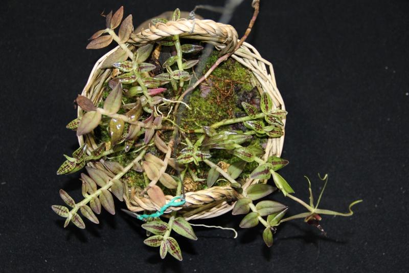 Epidendrum escobarianum Img_1110