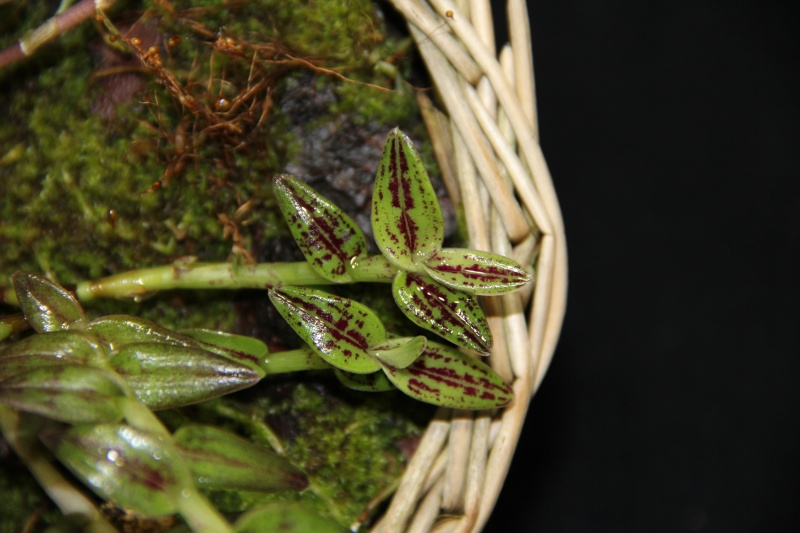 Epidendrum escobarianum Img_1111
