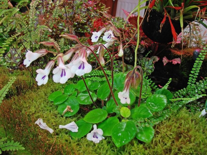 Weitere Begleitpflanzen Primul12