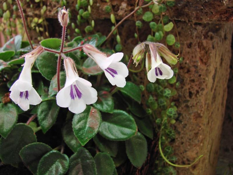 Weitere Begleitpflanzen Primul13