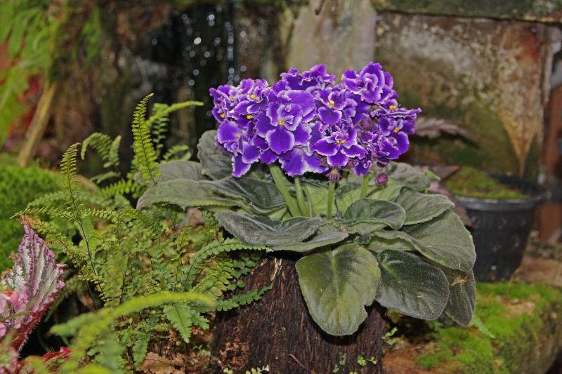 Weitere Begleitpflanzen Saintp12