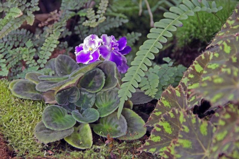 Weitere Begleitpflanzen Saintp13