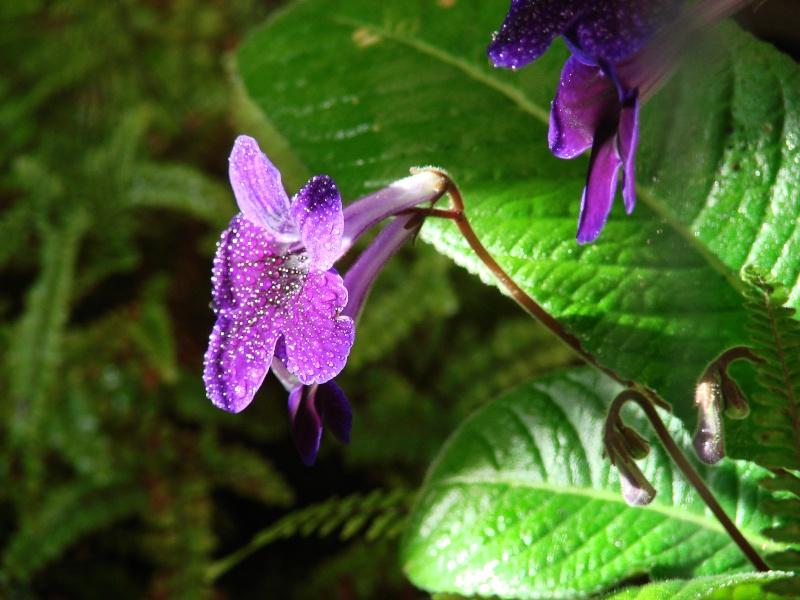 Weitere Begleitpflanzen Strept14