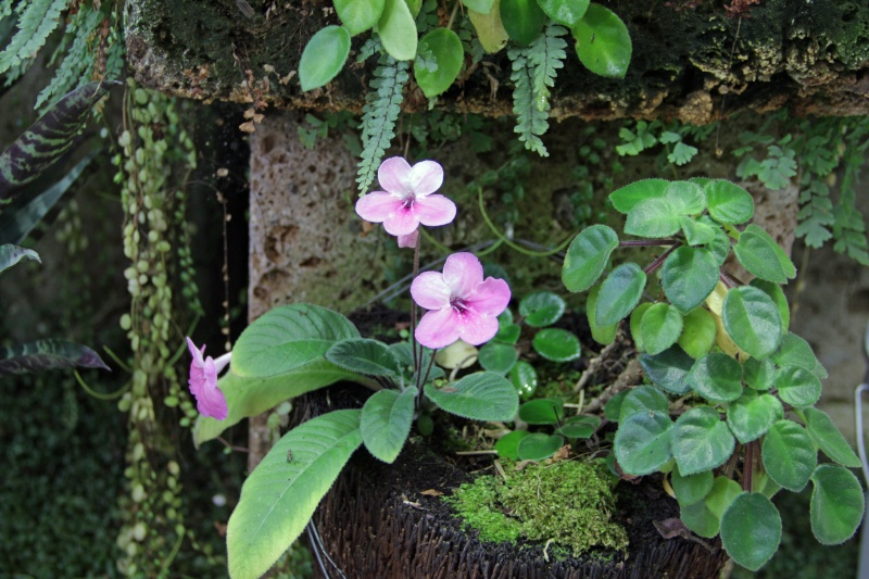 Weitere Begleitpflanzen Strept16