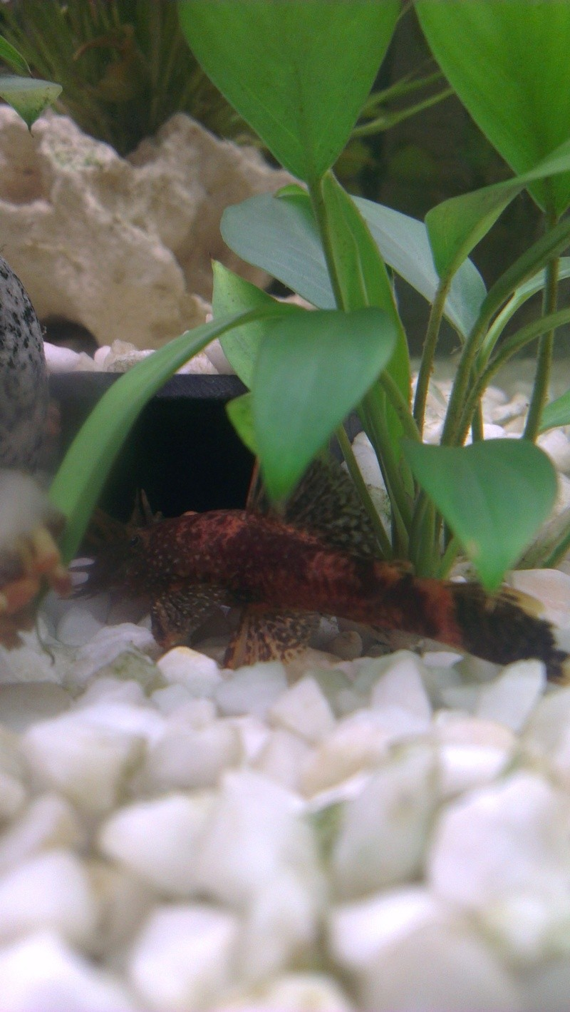 Pleco of The Month JAN 2014 POLL Imag1611