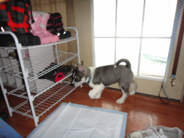 We got our new puppy today!!! Dsc01010