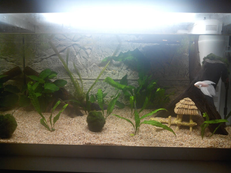 Aquarium de 60L pour betta - Page 2 Img_2011